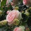 バラが咲く つぼみ次々 開花せり