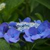 旬の花 青の王冠 飾りたし