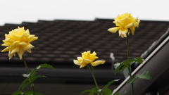 背を伸ばし 垣根を越えて バラ三輪