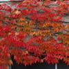 燃える赤 蔦の紅葉 グラデーション