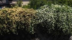 白と黄 木香薔薇の 垣根かな