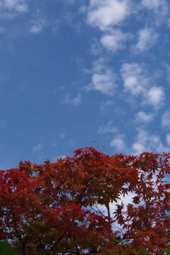 定番や 紅葉青空 秋の雲