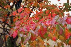 晩秋の 彩りの美や 花水木