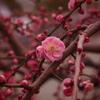 紅梅や 花はちらほら 香り立つ
