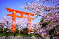 京都の桜を満喫