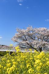 青・黄・桜色