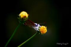 秋のシジミチョウ