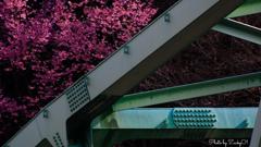 パステルの橋を彩る山桜