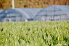 麦畑を流れるサラサラの風
