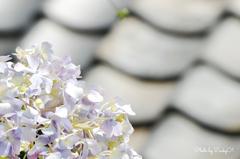 廃屋の紫陽花