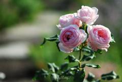薔薇の小径