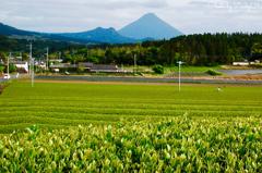茶畑と開聞岳に平和を感じて