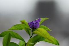 幸運の花 昨日、今日、明日