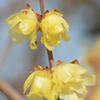 黄色ゆかしい蝋の花