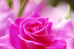 バラ色の人生 La Vie en rose