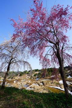 棚田と雪と桜