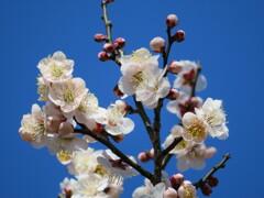 梅 開花 (雲の曙)