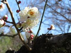 梅の花 開花 Ⅱ