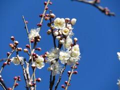梅の花 開花 Ⅲ