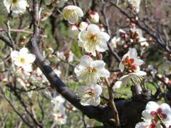 梅の花 開花 Ⅰ