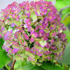 冬の紫陽花2