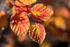 まだ残っていた 日向水木 (ひゅうがみずき)の紅葉❤️