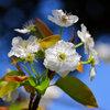 ヤマナシ/やまなし/山梨の花5