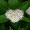 下野 (しもつけ)   (Japanese spiraea) ♡