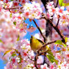 ヒマラヤ桜ジロー・蜂さんを啄む^_^;