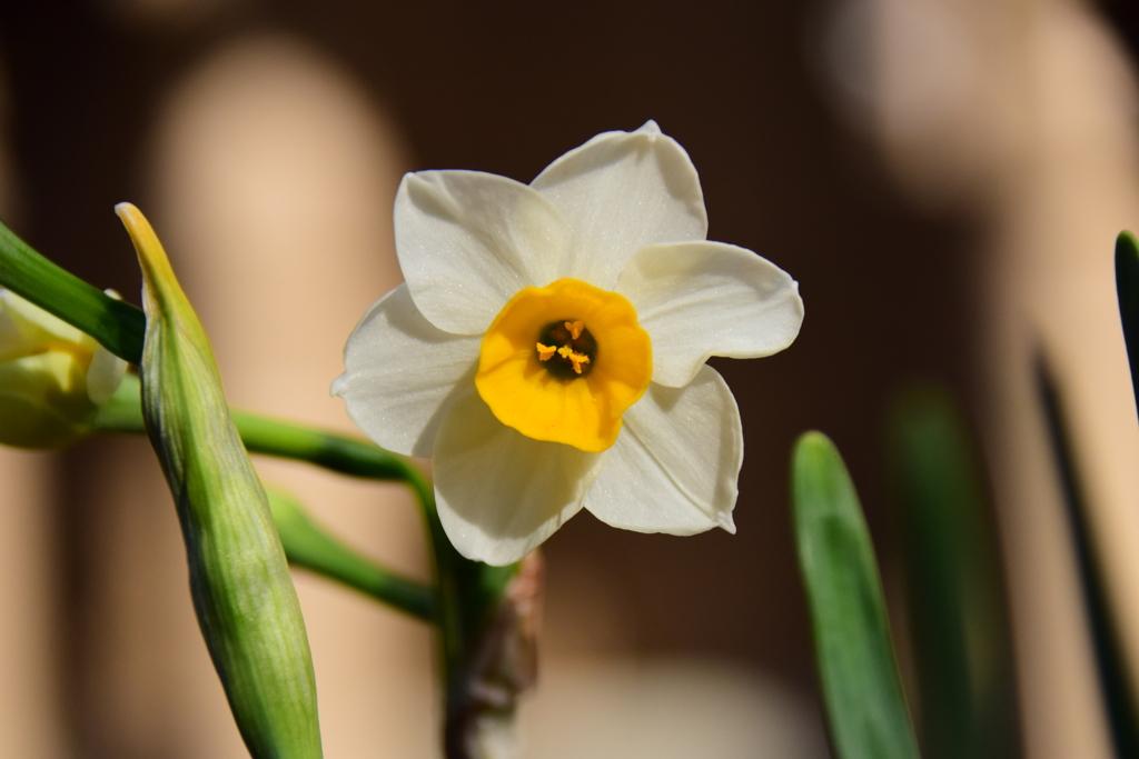 早くも水仙が開花1