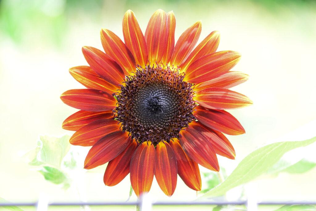 燃える向日葵3