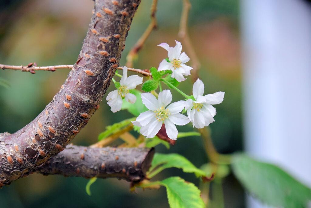 十月桜 1