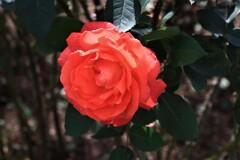 薔薇 円山