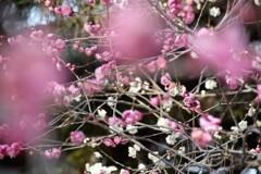 梅 源平咲き