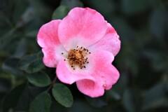 薔薇 ビンゴメイヒランド