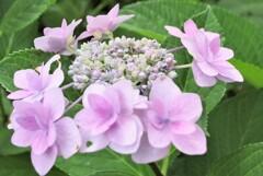 額(八重)紫陽花