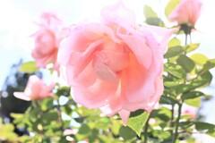 薔薇  桃山