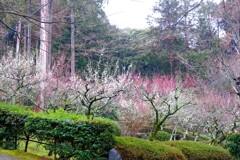 滋賀 石山寺 梅園