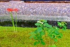 彼岸花と紫陽花
