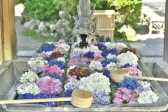 花手水 紫陽花
