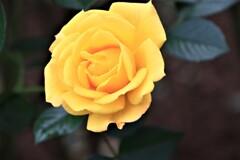 薔薇 ゴールドマリー