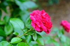 咲き残った薔薇