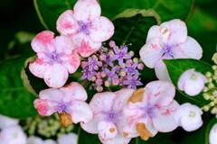 紫陽花 最後まで美しく