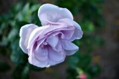 11月の薔薇 ブルーバユー