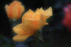 薔薇 金閣