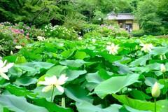 蓮 紫陽花