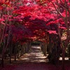 今年の紅葉のトンネル