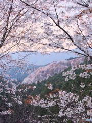 吉野の桜 02