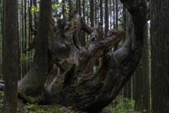 株杉の森の長老