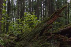 株杉の森にある倒木